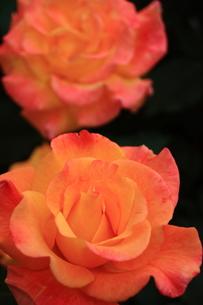 オレンジのバラの写真素材 [FYI00224985]