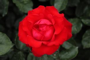 真っ赤なバラの写真素材 [FYI00225003]