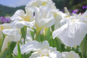 白い花しょうぶの写真素材 [FYI00225023]