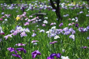 花しょうぶ園の写真素材 [FYI00225025]