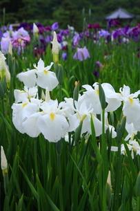 花しょうぶ園の写真素材 [FYI00225028]
