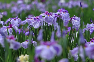 花菖蒲園の写真素材 [FYI00225034]