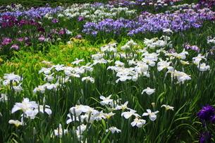 花しょうぶ園の写真素材 [FYI00225039]