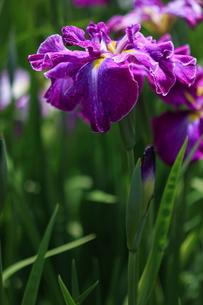 紫の花しょうぶの写真素材 [FYI00225040]