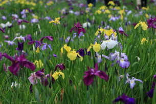 花しょうぶ園の写真素材 [FYI00225063]