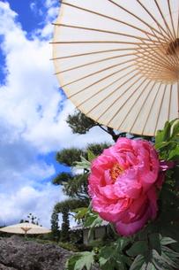 牡丹と和傘と青空の写真素材 [FYI00225080]