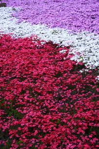 三色の芝桜の写真素材 [FYI00225128]