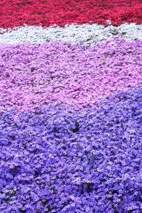 四色の芝桜の写真素材 [FYI00225129]