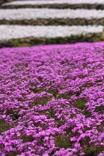 芝桜の写真素材 [FYI00225132]