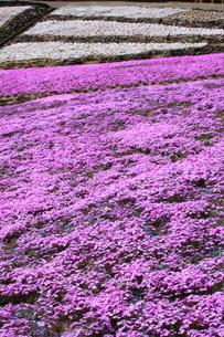 芝桜の写真素材 [FYI00225133]