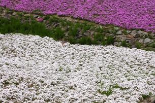 芝桜の写真素材 [FYI00225137]