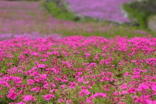 芝桜の写真素材 [FYI00225147]