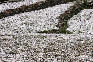 芝桜の写真素材 [FYI00225148]