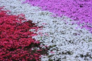 三色の芝桜の写真素材 [FYI00225149]
