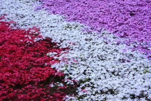 三色の芝桜の写真素材 [FYI00225150]