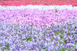 四色の芝桜の写真素材 [FYI00225153]