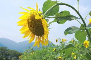 お辞儀をした向日葵の写真素材 [FYI00225226]