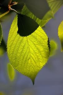 緑葉の写真素材 [FYI00225480]