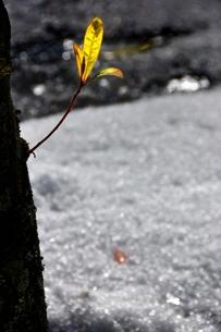 新芽の写真素材 [FYI00225496]