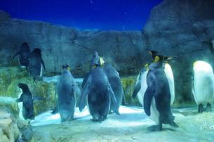ペンギンたちの素材 [FYI00225682]