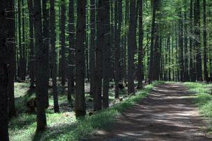 奥日光 西ノ湖へ向かう途中の唐松林の新緑の写真素材 [FYI00225720]