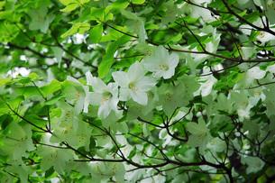 29. 白ヤシオ(ゴヨウツツジ)の花の写真素材 [FYI00225742]
