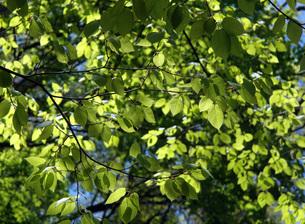 21. イヌシデの若葉の写真素材 [FYI00225752]