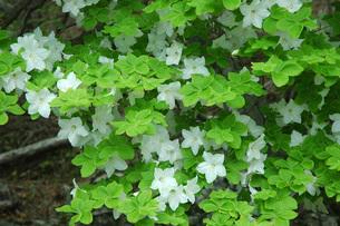 32. シロヤシオ(五葉ツツジ)の花の写真素材 [FYI00225766]