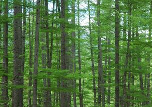 49. 唐松林の新緑の写真素材 [FYI00225781]