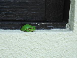 55.  雨蛙の写真素材 [FYI00225788]