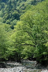 74. 柳沢川の新緑の写真素材 [FYI00225795]