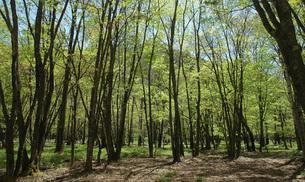 84. 千手の森 新緑の写真素材 [FYI00225801]