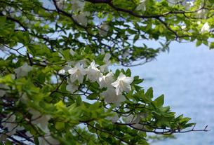 265. 湖畔の白ヤシオの写真素材 [FYI00225969]