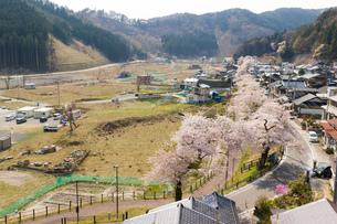 釜石市唐丹町本郷の桜並木の写真素材 [FYI00226038]