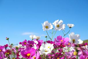 秋桜と青空の素材 [FYI00226057]