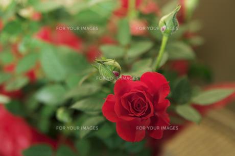 薔薇の素材 [FYI00226066]