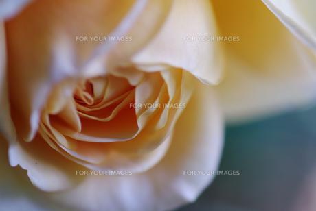 薔薇の素材 [FYI00226067]