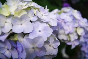 紫陽花の素材 [FYI00226074]