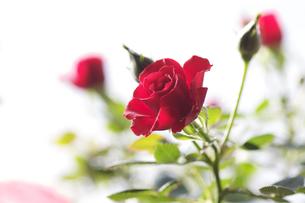 薔薇の素材 [FYI00226076]