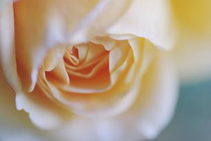 薔薇の花の素材 [FYI00226077]