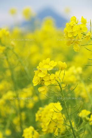 菜の花と開聞岳の素材 [FYI00226078]