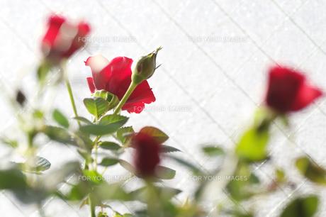 窓際の薔薇の素材 [FYI00226079]