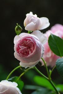 薔薇の素材 [FYI00226080]