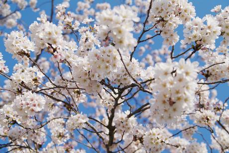 桜の素材 [FYI00226082]