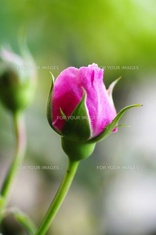 薔薇の素材 [FYI00226085]