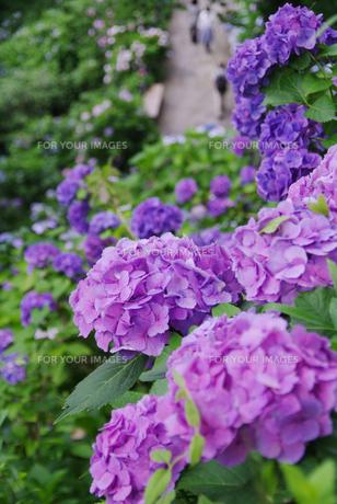 紫陽花の素材 [FYI00226087]