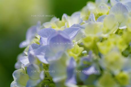 紫陽花の素材 [FYI00226088]