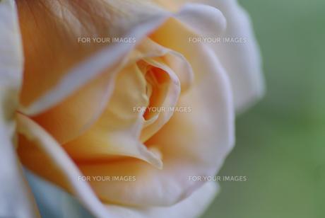 薔薇の花の素材 [FYI00226089]