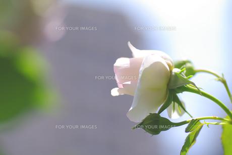 薔薇の花の素材 [FYI00226090]