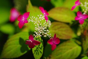 紫陽花の素材 [FYI00226092]